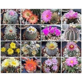 Seeds-Cactus Variety Mix Rare Globular Columnar Garden Cacti Succulentss