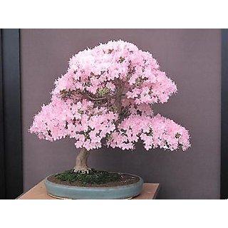 Seeds-Japanese Pink Cherry Sakura Blossoms Bonsai Tree Lovely Rare Pretty 5Pcs