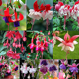 Seeds-Rare Many Color Snow Fuchsia Nice Lantern Flower Golden Bell Plants