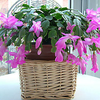 Seeds-10Pcs Bag Christmas Cactus Flower ,Christmas Cactus Plants Bonsai