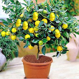 Seeds Rare Lemon Tree Bonsai Heirloom Fruit Home Plant