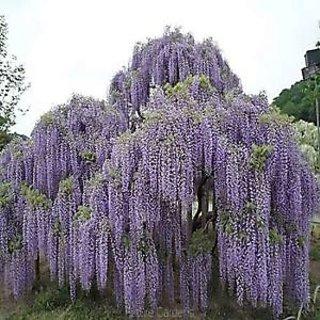 Seeds-Floribunda Wisteria Tree Vine Deciduous Flower Seed Garden Diy