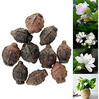 Seeds-10Pcs Cape Jasmine Jasminiodes White Aromatic Flower Plant Seed