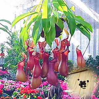 Seeds-Pitcher Plant Purpurea Foliage Carnivorous Shades Flower Home Garden