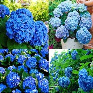Seeds-Blue Hydrangea Flower Home Garden Plants Flower Decor Tr5