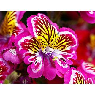 Seeds-Flower - Angel Wings Mix Poor-Mans-Orchid - Schizanthus Wisetonensis