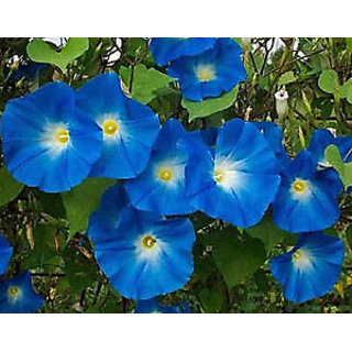 Seeds-15 Annual Flower - Morning Glory - Heavenly Blue Climbing Vine S -F 55
