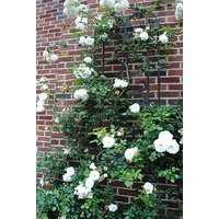 Seeds-Saaheli White Climbing Rose (10 Per Packet)