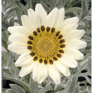 Seeds-Saaheli Gazania White Flower Seed (10 Per Packet)