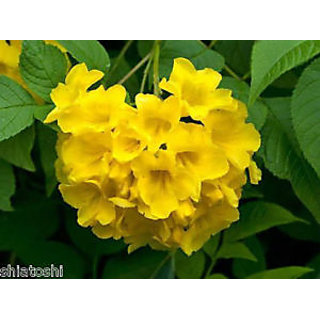 Buy tecoma stans gaurichairy live plant yellow bells flower tecoma stans gaurichairy live plant yellow bells flower ornamental tree mightylinksfo