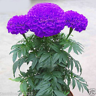 Seeds-Rare Purple Marigold Potted Herb Garden Marigold Chrysanthemum