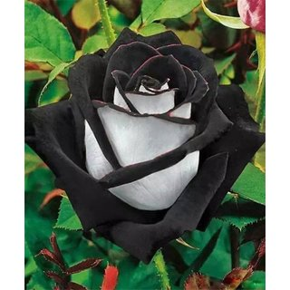 Seeds-Rare Black+White Rose Flower