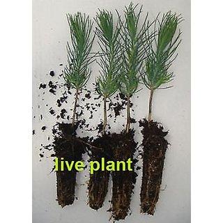 Rare Native Himalayan Pine! live plant