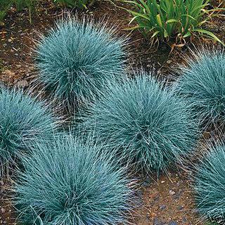 Seeds-Steel Blue Clumping Grass - Striking Plant Full Sun Evergreen Ornamental