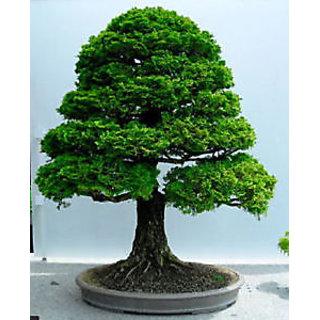 Seeds-Bonsai - Hinoki Cypress, Chamaecyparis Obtusa - Pack Of 5