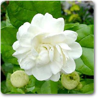 Buy Flower Plant Jasminum sambac, Mogra, Arabian Jasmine