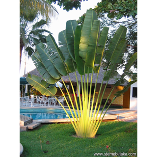 Seeds-Ravenala Madagascariensis