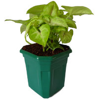 Rolling Nature Syngonium Red Line in Green Hexa Pot