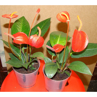 Anthurium Red Flowers Live Plant Tropical House