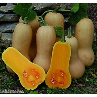 Seeds-15 Butternut Waltham Winter Squash Pumpkin - Cucurbita Moschata