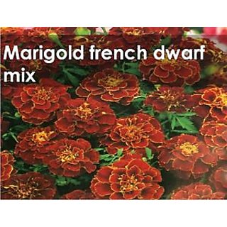Seeds-Green Octane Marigold French Mix Flower