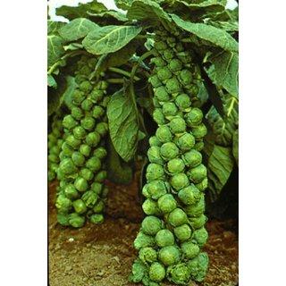Seeds-Cabbage Brussels Machuga Organic Heirloom Vegetable