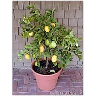 bonsai Dwarf lemon tree live plant with fruit