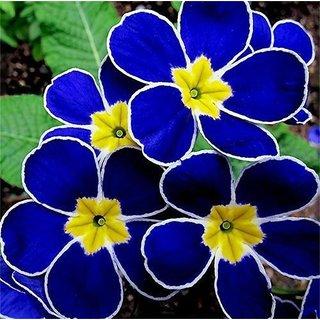 Seeds-Garden Rare Blue Evening Primrose Easy To Plant Potted Flower