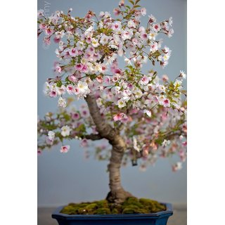 Seeds-Beautiful Rare White Sakura Cherry Blossom Bonsai Tree Fresh