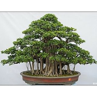 Seeds-Beautiful Banyan Bonsai Tree Indian Strangler Fig Fresh