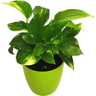 Money Plant Gold King Indoor plant in Plastic Planter