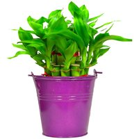 TrustBasket Lucky Bamboo  with Light Purple Bucket