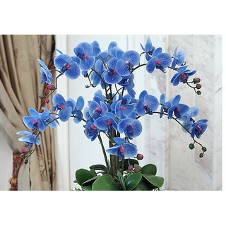 Seeds-Rare Orchid Bonsai Blue Butterfly Orchid Beautiful Phalaenopsis 5 Pcs