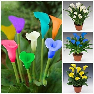 lily seed rare colorful calla lily 10 seeds