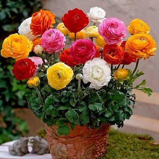 Flower bulb - Ranunculus (Buttercup Plant) bulbs