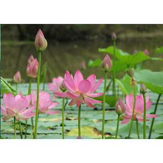Buy Real Sacred Lotus Flowers Pond Readymade Garden Size