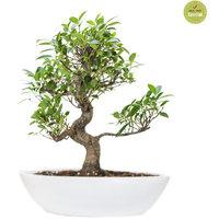Nurturing Green I Shape Ficus Bonsai Plant 2 Years Old1254