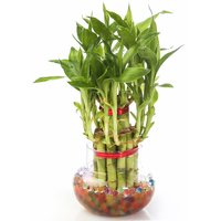 Nurturing Green Lucky Bamboo Two Layer Big Round Glass Pot27