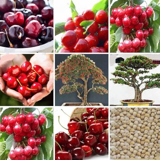 Seeds-Japanese Cherry Blossom Bonsai Fruits Tree ( 5 /Bag )