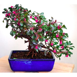 Seeds-Bonsai - Common Bearberry 10 Pack