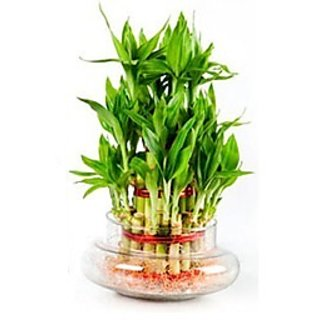 3 Layer Lucky Bamboo Plants