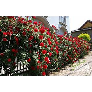 Seeds-Climbing Red Rose - Pack Of 10