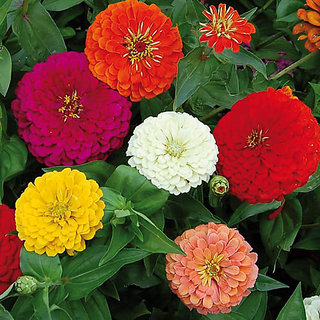 Seeds-Zinnia + Red Rose