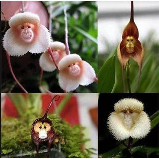 Monkey faced orchid flower beautiful phalaenopsis BONSAI PLANT