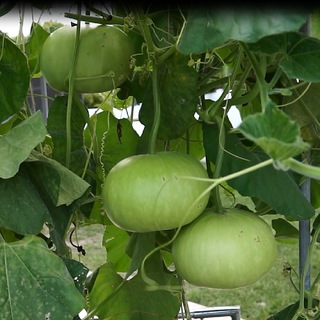 Seeds-Biocarve Bottle Gourd Round - Pack Of 20