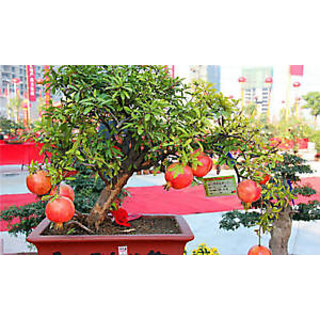 bonsai dwarf pomegranate live plant