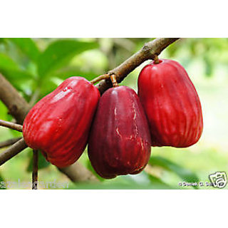 Water Apple live plant