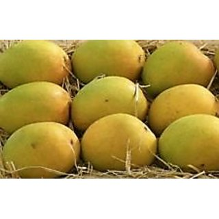 Alphonso Pack of 1 All Seasons Mango Seed