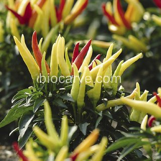 Seeds-Biocarve Panam F1 Ornamental Chilli -10