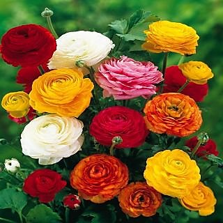 Seeds-Futaba Ranunculus Asiaticus Flower - 25 Pcs